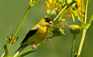 yellow bird sitting in yellow flowers