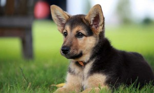 Benefits of Large Breed Puppy Foods