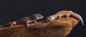 two leopard geckos