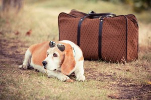 Dog in sunglasses lying by suitcase