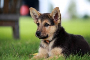 German Shepard puppy lying in park