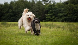 Two dogs running together in the park