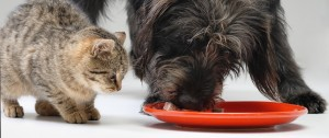 senior-dog-eat-kitten-food6