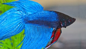 Closeup of Blue Betta Fish