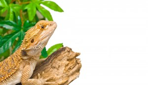 Bearded Dragon on log