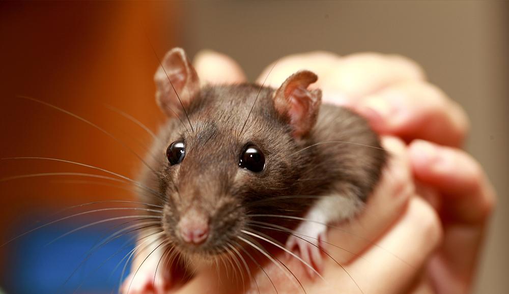 Train Your Rat