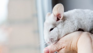 Chinchilla being held