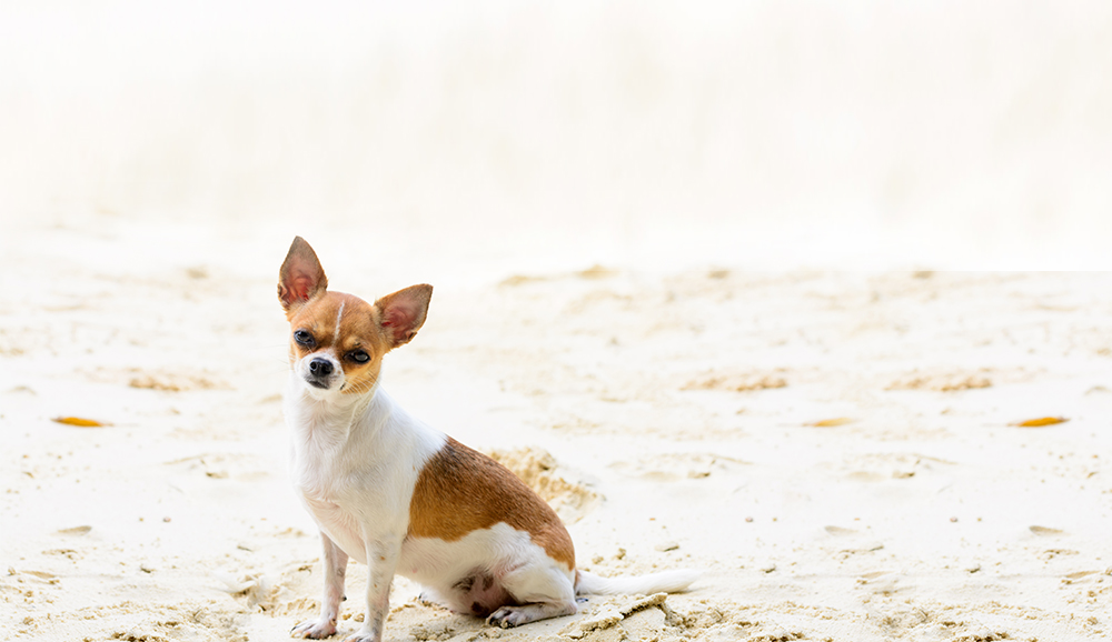 Jet-Set Pet: Small Dogs & In-Cabin Air Travel