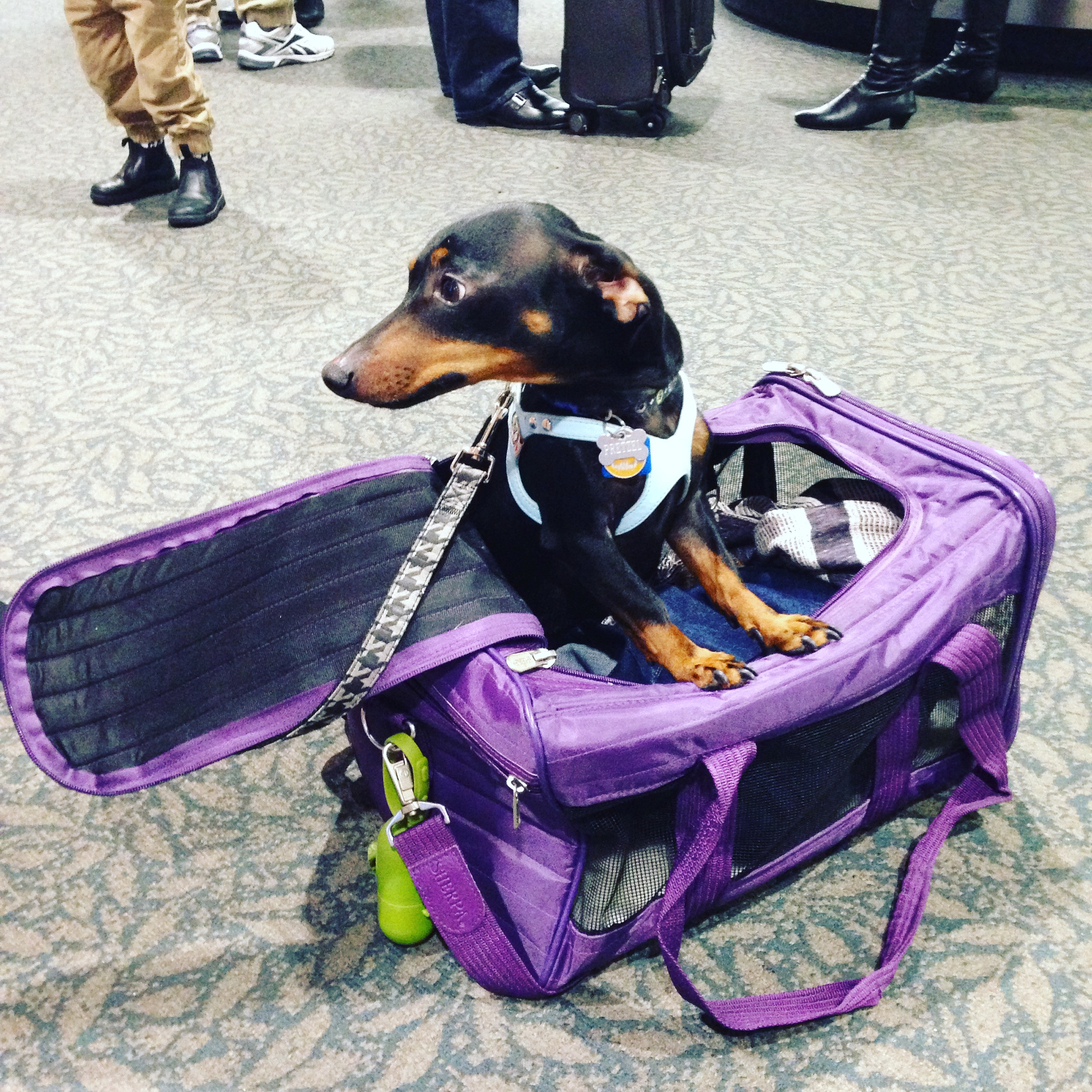 How do small dogs travel on airlines for Air travel with dog in cabin
