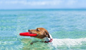 Swimming dog holding red Frisbee