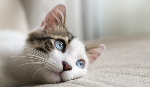 blue eyed cat resting on bed