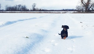 Wiener Dog running along snowy path