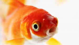 Closeup of goldfish