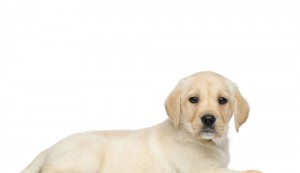 (Pet Valu Canada) Loving & Fostering a Future Dog Guide